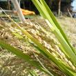 【2016年新米】  うきは産 無肥料・自然米 ひのひかり【玄米】10kg