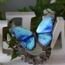 蝶のマグネット メネラウスモルフォ Turquoise Lsize