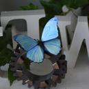 蝶のマグネット メネラウスモルフォ SG lc.col+Pearl blue Mサイズ 両面仕様 試作