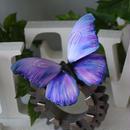 蝶のマグネット メネラウスモルフォ lavender.md+Pearlblue Lsize
