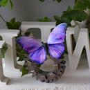 蝶のマグネット メネラウスモルフォ lavender.md Lsize