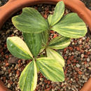Zamia Furfuracea Varigated
