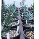 Encephalartos Middelburgensis 6Plants〜