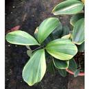 Zamia Furfuacea Varigated  4babies
