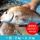活神経〆 天然真鯛【一匹(2㎏~2.2㎏)】