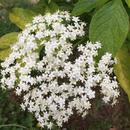 Elderflower cordial 280g エルダーフラワーコーディアル