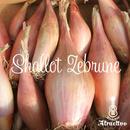 フランス料理に欠かせないタマネギ・ベルギー・エシャロット(シャロット)の種