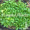 サラダで愛用される西洋野菜コーンサラダ(マーシュ)の種