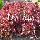 イタリア野菜サニーレタス(ロロロッサ)の種