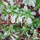 フランス料理で使われる草「プルピエ」の種