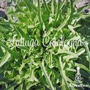 イタリア野菜のレタス ラトゥーガ・カタローニャの種