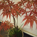 苔玉 紅葉