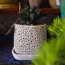ハルオチア コンプト×レツーサ交配種