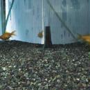 2010121190038玉黄金, loc, 159111