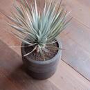 ユッカ・リギダ Yucca rigida