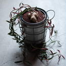 モナデニウム  ルベルム Monadenium montanum var. rubellum