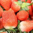 農園直送の朝摘みイチゴ(4パック)
