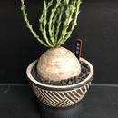 ユーフォルビア デシドア 蓬莱塔 Euphorbia decidua