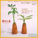土なし 清潔 水やり簡単  「セラハイト 傘の木(シェフレラ)とドラセナ・サンデリアーナ・ビクトリー 『陶房うさぎ庵』特製 ツリーハウス 2個セット