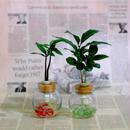 セラハイト 『梛(ナギ)の木』と『コーヒーの木』 2個セット  梛の木は、「女城主 直虎」で「愛しいものの無事を祈る木」「災いを避ける木」「良縁を結ぶ木」として紹介されました