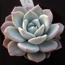 E. スウィートハート  Echeveria  Sweet Heart (laui x 碧牡丹) (075)