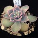E. シムランスラグナサンチェスxコロラータ  Echeveria simuransL.S X colorata  (077)