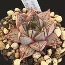E. 大和錦  ホワイトホーム  Echveria  purpusprum  White  form(ゴンザレス)