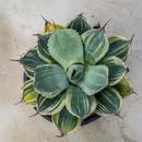 Agave parryi truncata limestreak/アガベ パリー トランカータ ライムストリーク