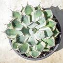 Agave potatorum variegate/アガベ 吉祥冠錦