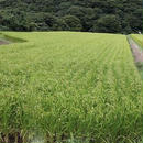 平成29年石川県産こしひかり玄米30kg(送料込)