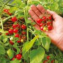 見ても食べても楽しめる!無農薬マイクロトマト苗<1株> (神奈川県産)