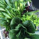 高橋農園の葉物野菜