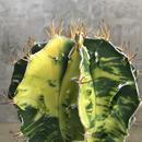 Astrophytum ornatum f. varieg.