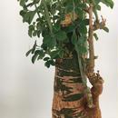 Adenia fruticosa