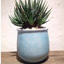 Aloe SP hyb