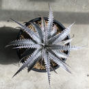 Dyckia marnier-lapostollei(Red spines)× excelsa silver clone