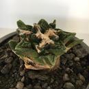 Ariocarpus fissuratus v.hintonii