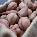 【予約商品】土付き安納芋 生芋 5キロ
