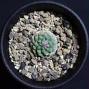 赤花菊水 Strombocactus esperanzae