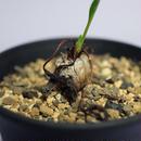 ペラルゴニウム ラディカツム Pelargonium radicatum