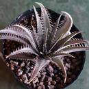 Dyckia delicata type form Seedling Brazil