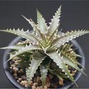 Dyckia 'Arizona'  Dyu Hybrid