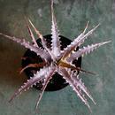 Dyckia goehringii type clone X Purple Shark