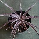 Dyckia 'Arizona' × 'goehringii type clone'