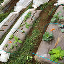 【E-MYFARM 区画No. 001】千葉県市川市 市川農園野菜栽培区画