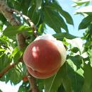 Japanese peach 5kg Boxed 日本の桃