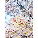 靭公園の桜 2
