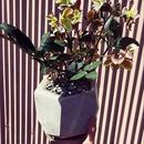 クリスマスローズの鉢植え