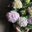 あじさい てまりてまり ピンク 母の日ギフト mother's day  plants