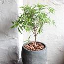 フィカス サリシフォリア indoor plants  M  size  現品